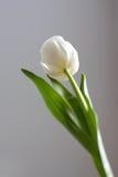 Weiße Tulpe Lizenzfreies Stockfoto