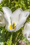 Weiße Tulpe Stockfoto