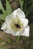 Weiße Tulpe lizenzfreie stockfotos