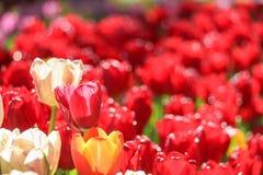Weiße Tulpe auf dem roten Tulpenblumengebiet Stockfotografie