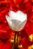 Weiße Tulpe im roten Tulpenfeld stockbild