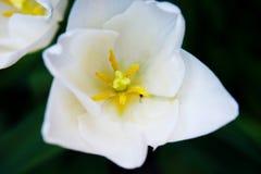 Weiße Tulpe im Vordergrund stockfotografie