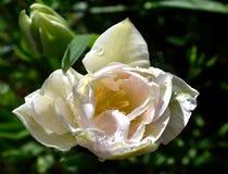Weiße Tulpe mit Regentropfen Stockfoto