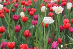 Weiße Tulpe und rote Tulpe stockfoto