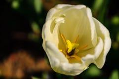 Weiße Tulpe von der Draufsicht Stockfotografie