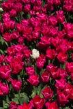Weiße Tulpe zwischen purpurroten Tulpen Stockbild
