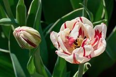 Weiße Tulpeblumen im Garten Beschneidungspfad eingeschlossen Stockbild