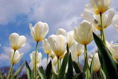 Weiße Tulpen lizenzfreie stockfotografie