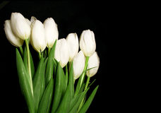 Weiße Tulpen Lizenzfreies Stockbild