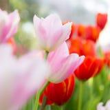 Weiße Tulpen Stockfoto