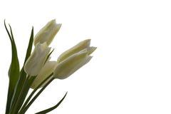 Weiße Tulpen Lizenzfreie Stockbilder