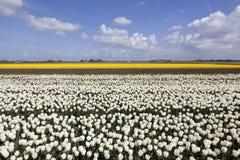 Weiße Tulpen auf dem Blumengebiet mit blauem Himmel und Wolken Stockfoto