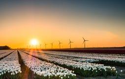 Weiße Tulpen auf dem Gebiet bei Sonnenaufgang Stockbilder