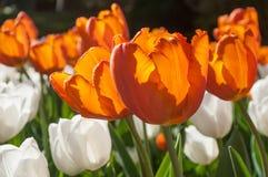 weiße Tulpen der Orangeade auf einem Gebiet stockbild