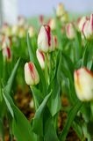 Weiße Tulpen in der Show lizenzfreie stockbilder
