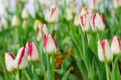 Weiße Tulpen in der Show lizenzfreies stockbild