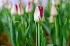 Weiße Tulpen in der Show stockfoto