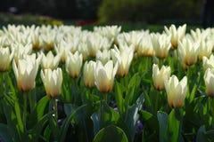 Weiße Tulpen, die im Blumenbeet im Garten in der Abendsonne wachsen Stockfotos