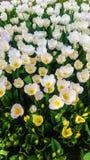 Weiße Tulpen in einem Garten Stockfotos