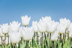 Weiße Tulpen gegen einen blauen Himmel Stockbild