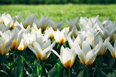 Weiße Tulpen mit gelben Details und grünem Gras des Gartens aus Fokushintergrund in Amsterdam, die Niederlande während des Frühli Lizenzfreies Stockfoto