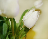 Weiße Tulpen mit Wasser-Klecksen Lizenzfreies Stockfoto