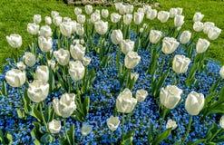 Weiße Tulpen mit Zeit der alpines Vergissmeinnicht-blauer Blumen im Frühjahr Lizenzfreies Stockfoto