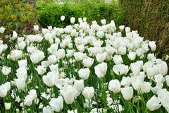 Weiße Tulpen in mittlerem der Waldeinrichtung lizenzfreie stockbilder