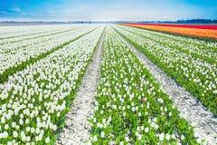 Weiße Tulpen rudert in der Sommerzeit, die Niederlande Stockfotos