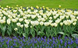 Weiße Tulpen, Traubenhyazinthen lizenzfreie stockbilder