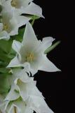 Weiße Tulpen von oben Lizenzfreie Stockfotos