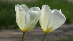 Weiße Tulpennahaufnahme Foto eingelassen dem Garten stock footage