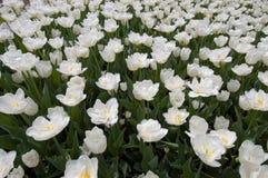Weiße Tulpeverrücktheit stockfotografie