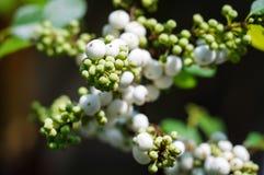 Weiße u. junge Frucht auf Baumast in Tageslicht 2 lizenzfreies stockbild