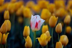 Weiße u. rote Tulpe Lizenzfreie Stockfotografie