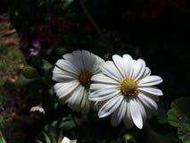 Weiße und beuty Bellis perennis lizenzfreies stockbild