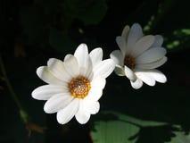 Weiße und beuty Bellis perennis stockfoto