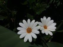 Weiße und beuty Bellis perennis stockfotos