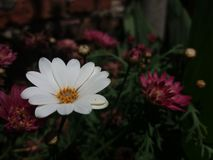 Weiße und beuty Bellis perennis mit Chrysantheme stockfoto