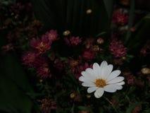 Weiße und beuty Bellis perennis mit Chrysantheme stockfotos
