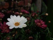 Weiße und beuty Bellis perennis mit Chrysantheme stockfotografie