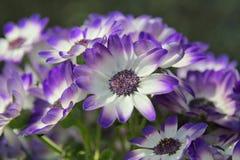 Weiße und blaue Blumen im Sommer Stockbild