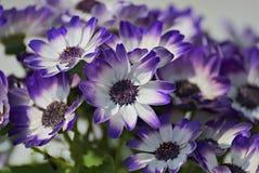 Weiße und blaue Blumen im Sommer Lizenzfreie Stockfotografie