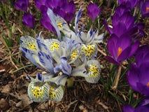 Weiße und blaue Iris Reticulatas und purpurrote Krokusse, die im Frühjahr im Garten blühen Stockfoto