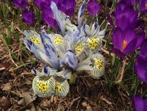 Weiße und blaue Iris Reticulatas und purpurrote Krokusse, die im Frühjahr im Garten blühen Lizenzfreies Stockbild