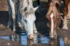 Weiße und braune Pferdegetränke stockbilder