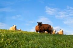 Weiße und braune Schafe auf Weide über blauem Himmel Lizenzfreie Stockfotos