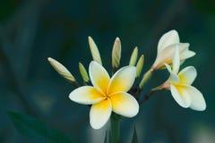 Weiße und gelbe Blumen des Plumeria auf einem Baum stockfotografie