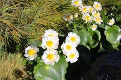 Weiße und gelbe Blumen Ranunculus lyallii, Spezies der Ranunculusbutterblume, endemisch nach Neuseeland Irgendwo in Neuseeland stockbilder