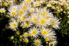 Weiße und gelbe Chrysantheme Stockfotografie